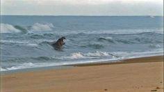 A hippo takes to the waves in coastal Loango, Gabon