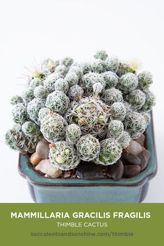 This beautiful, small cactus has a cylindrical green body covered in interwoven white spines. Mammillaria gracilis fragilis Thimble Cactus This beautiful, small cactus has a cylindrical green body covered in interwoven white spines. Types Of Succulents, Growing Succulents, Cacti And Succulents, Planting Succulents, Crassula Succulent, Propagating Succulents, Succulent Gardening, Cacti Garden, Succulent Planters