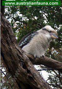 State Faunal (Bird) Emblems: New South Wales - Kookaburra Australian Animals, Bird Species, Great Love, South Wales, Laughing, Science, Website, Friends, Heart
