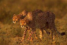 Cheetah hunting, Kgalagadi