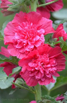 Pink Summer Carnival Double Hollyhock
