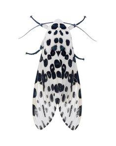 Hypercompe scribonia / Giant Leopard Moth (8146) by Todd Hooligan