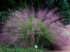 Muhley Grass