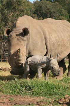 White Rhino  treasures