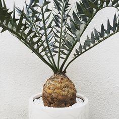 . Encephalartos horridus . とにかく大きい家が広かったらずっといて欲しいんだけどなぁ . ホントにかっこいいねお前 . #Encephalartos #horridus #cycad #cycas #plant #plants #koolplant #exoticplants #エンセファラルトス #ホリダス #ソテツ #蘇鉄 #toky_item by rentarof Exotic House Plants, Vase, Instagram Posts, Home Decor, Decoration Home, Room Decor, Vases, Home Interior Design, Home Decoration