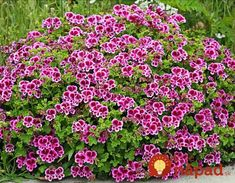Specializing in rare and unusual annual and perennial plants, including cottage garden heirlooms and hard to find California native wildflowers. Types Of Flowers, Types Of Plants, Flower Seeds, Flower Pots, Garden Plants, Indoor Plants, White Flowers, Beautiful Flowers, Scented Geranium