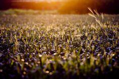 Golden Hour in the Fields