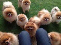 Pomeranians.....so cute!!!