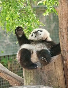 Xiao Liwu at the San Diego Zoo, California, on April © Rita Petita. Panda Bebe, Cute Panda, Animals And Pets, Baby Animals, Cute Animals, Wild Animals, Baby Panda Bears, Baby Pandas, Giant Pandas