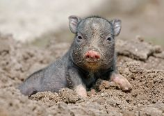 Tiergarten Delitzsch has a new mud-loving favorite: a fist-sized Pot-bellied Piglet. Born in late May, the piglet, whose sex is not yet determined, was the only one out of five to survive birth complications. Fortunately, the mother is doing well. Pet Pigs, Baby Pigs, Farm Animals, Animals And Pets, Cute Animals, Pot Belly Pigs, Teacup Pigs, Mini Pigs, Cute Piggies