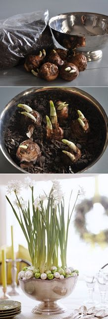 Paper White Bulbs Planting