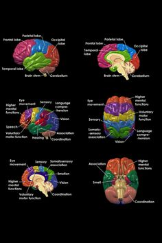 Human Brain Fuction - Health, Medicine and Anatomy Reference Pictures Brain Stem, Brain Science, Science Education, Life Science, Computer Science, Brain Anatomy, Anatomy And Physiology, Ap Psychology, School Psychology