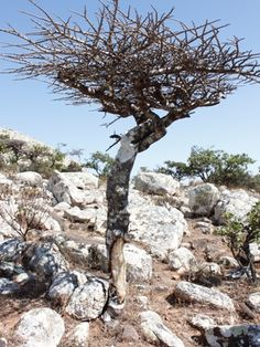 Commiphora planifrons