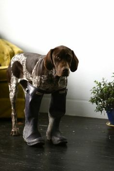 German Shorthaired Pointer wearing Hunter Rain Boots