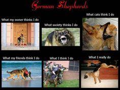 The German Shepherd.