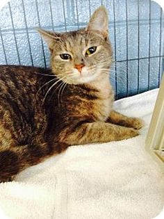 Elmsford, NY - Domestic Shorthair. Meet Cyndi Laupurr, a cat for adoption. http://www.adoptapet.com/pet/12478373-elmsford-new-york-cat