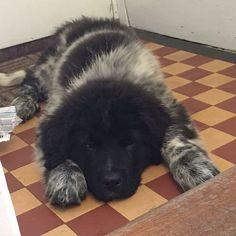 Throw back to Bonnie at 8 weeks. She's now 6 months ❤️ #landseer #landseerpuppy #puppy #puppys #puppie #puppydog #puppydogs #puppies #puppylove #puppylife #newfie #newfies #newfiepup #newfiepuppies #newfoundland #newfoundlanddog #newfoundlands #newfoundlandpuppy #bigdog #bigdogs #cutedog #cutedogs #cutedoggy #bigdogs #bigdog #blackdog #dogsofinstagram #dogs #newfoundlandsofinstagram