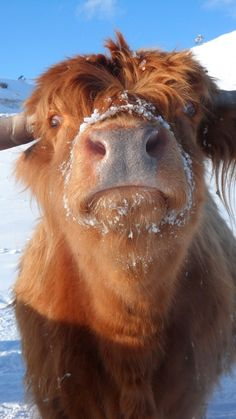 Natalie being weird Cute Creatures, Beautiful Creatures, Animals Beautiful, Scottish Highland Cow, Highland Cattle, Fluffy Cows, Fluffy Animals, Farm Animals, Animals And Pets