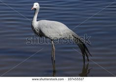 Find Blue Crane stock images in HD and millions of other royalty-free stock photos, illustrations and vectors in the Shutterstock collection. Thousands of new, high-quality pictures added every day.