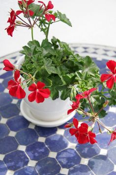 My Moroccan Table geraniums are my favorite and my best Summer Flowers, Beautiful Flowers, Send Flowers, Fresh Flowers, Moroccan Table, Red Geraniums, Potted Geraniums, Red Cottage, Cozy Cottage