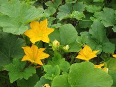 ARTICLE: Eating Squash Leaves and Other Useful Plant Bits