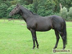 Thoroughbred - stallion Nowogródek