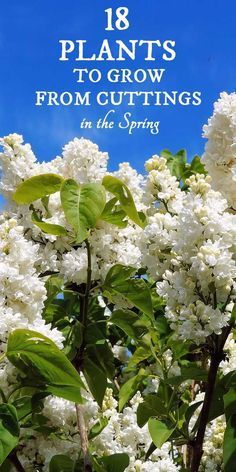 Spring is the time to take softwood cuttings from deciduous shrubs and vines to grow more plants from your favorite lilacs, hydrangeas, clematis, and more. Sponsored.