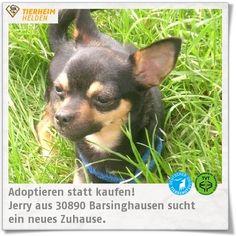"""Jerry wurde anscheinend so verhätschelt, dass sie im Tierheim Barsinghausen erst einmal das Laufen lernen musste.  http://www.tierheimhelden.de/hund/tierheim-barsinghausen/chihuahua_mischling/jerry/7789-0/  Auch die Grundkommandos konnte Jerry nicht gerade im Schlaf. Im Tierheim hat sie vieles gelernt- auch Autofahren und Gruppenübungen mit Hunden. Sie ist verträglich mit Artgenossen. Allerdings möchte sie trotz ihrer Größe als """"ganzer Hund"""" behandelt werden."""