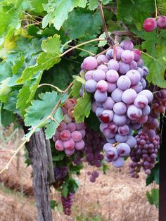 table grapes in Ofra, Israel