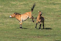 Przewalski Horses : Kick... by Serge FONTAINE