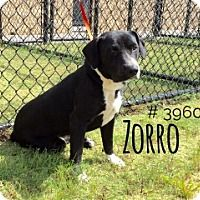 Zorro - URGENT - Alvin Animal Adoption Center in Alvin, Texas - ADOPT OR FOSTER - Adult Male Lab Retriever/Pit Bull Mix