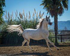 Om El Benicio (WH Justice × Om El Benecia) 2013 grey stallion bred by Om El Arab International, California