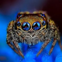 Eye of the Spider: Hypnotizing Macro Photos of Exotic Spiders Staring Directly into Your Mind Cool Insects, Bugs And Insects, Beautiful Creatures, Animals Beautiful, Animals And Pets, Cute Animals, Spider Costume, Itsy Bitsy Spider, Jumping Spider