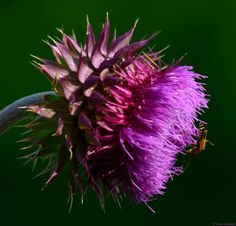 Purple Thistle, growing wild in the marshland of Pennypack Park by the Delaware.