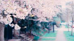 beautiful blossoms spring tree hd wallpapers download
