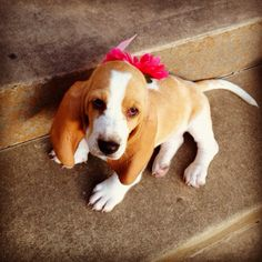 Baby Basset hound :) like a little Lainey but with more lemon