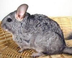 Most common disorders of Chinchillas