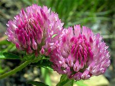 Лекарственное растение клевер луговой