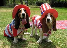 The basset hounds are ready for the 4th of July!