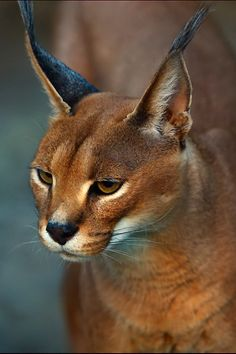 expressions-of-nature:      Caracal | Lilia