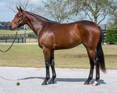 Hip No. 756, a daughter of Indian Charlie consigned by Eddie Woods, Agent, was sold to John C. Malone's Bridlewood Farm for $500,000 to top the third session of the Ocala Breeders' Sales Company's 2014 June Sale of Two-Year-Olds and Horses of Racing Age. She is a half sister to The Factor
