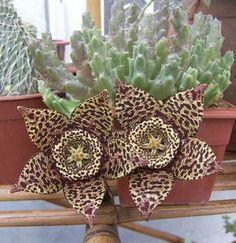 Exotic Bonsai Mini Cactus Indoor Succulent Flower Bonsai Mini-Bonsai Bonsai Pentagram Cactus Plant For Home & Grden 50 Pcs Unusual Flowers, Unusual Plants, Exotic Plants, Cool Plants, Succulent Gardening, Cacti And Succulents, Planting Succulents, Planting Flowers, Succulent Bonsai