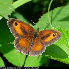 ~ Oranje Zandoogje Science Nature, Butterfly, Chameleons, Birds, Frogs, Turtles, Animals, Beauty, Tortoises