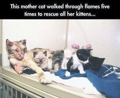 Funny pictures about Mother Cat Walks Through Flames 5 Times To Save Kittens. Oh, and cool pics about Mother Cat Walks Through Flames 5 Times To Save Kittens. Also, Mother Cat Walks Through Flames 5 Times To Save Kittens photos. Animals And Pets, Baby Animals, Funny Animals, Cute Animals, Funny Cats, Animal Babies, Crazy Cat Lady, Crazy Cats, Amor Animal