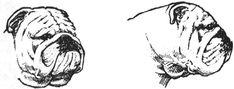 An Illustrated Guide to the Bulldog Standard, English Bulldog Standard, English Bulldog Colors, English Bulldog Size Bulldog Pics, Bulldog Puppies, Bulldog Drawing, Baby Bulldogs, Pug Love, Bullies, Pugs, Heaven, Club