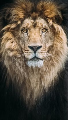 Portrait of a Beautiful Lion by Mike Kolesnikov - Photo 192896193 / Lion Pictures, Animal Pictures, Beautiful Creatures, Animals Beautiful, Lion King Quotes, Animals And Pets, Cute Animals, Tiger Artwork, Africa Painting