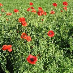 Corn Poppy is a horticultural variety of the common European field poppy, which was immortalized in Flanders during World War I. It is a hardy, self-seeding annual that bears single, red flowers in early summer. Approximately Corn Poppy seeds per packet. Types Of Flowers, Cut Flowers, Planting Poppies, Raised Flower Beds, Flower Garden Design, Annual Flowers, Landscaping With Rocks, Flower Seeds, Amazing Flowers