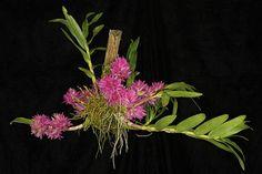 Dendrobium tannii_5173