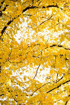 Feuilles jaunes - yellow leaves