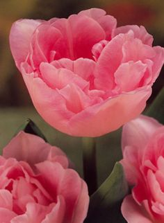 Tulip Angelique, A bold sturdy double flowering Tulip, pale pink changing to apple blossom pink at edges.